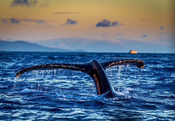 humpback whale tail sighting in Maui
