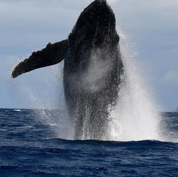 humpback whale breach in Lahaina