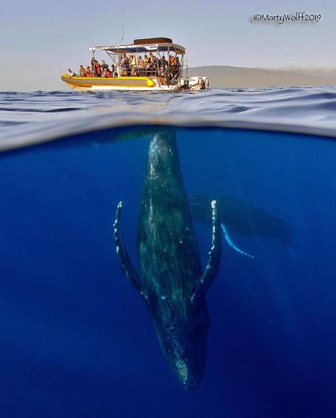 What Makes Humpback Whales Sing Ultimate Whale Watching