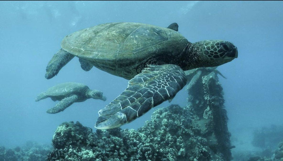 snorkeling with Hawaiian turtles