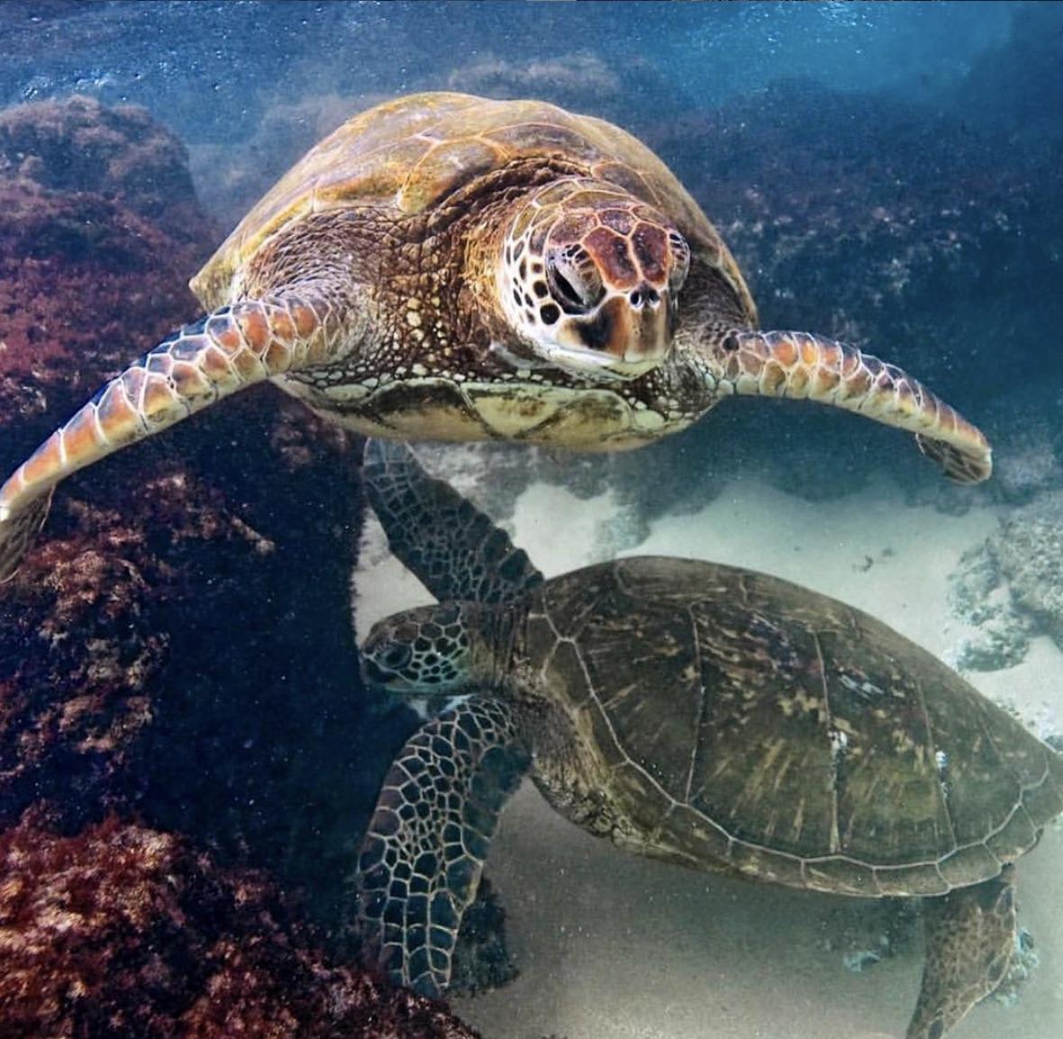 turtles depth snorkeling