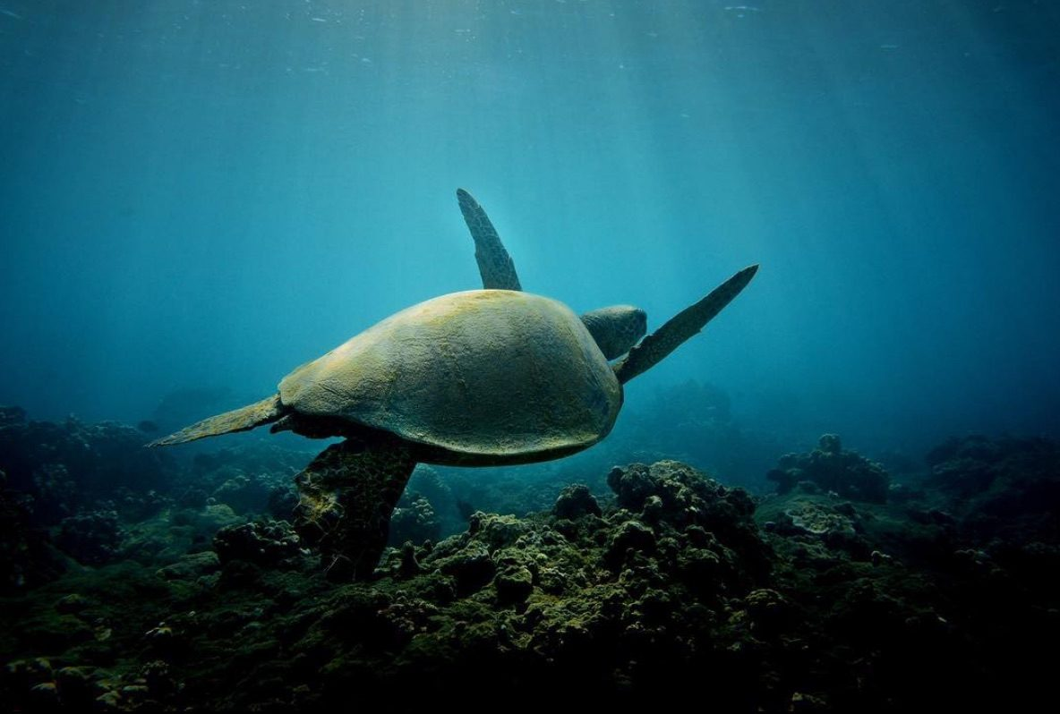 snorkeling in Maui with green sea turtle