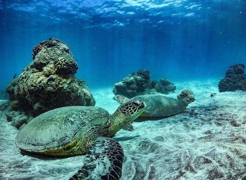 green sea turtles on ocean floor