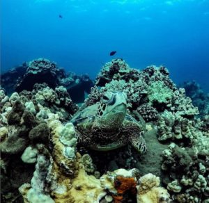 turtle hiding in coral