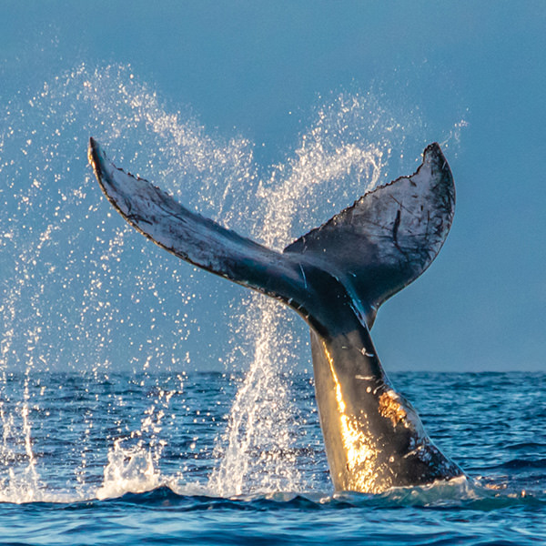 whale tail wave in Maui